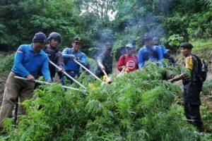 Ditemukan Lagi Ladang di Aceh Selatan, BNN Babat Habis 2 Hektar Ganja.