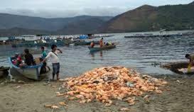 Pak Luhut, Lihatlah Keramba Jaring Apung Masih Bertebaran Di Kawasan Danau Toba, Kapan Regal Springs Indonesia Dkk Hengkang Dari Tanah Batak? – Foto: Ratusan Ton Ikan dari Danau Toba Mati dan terbuang sia-sia. (Net)